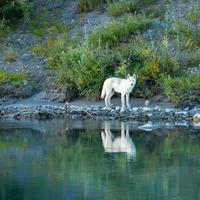 White Wolf on the Noatak River at Gates of the Arctic National Park