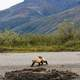 Wolverine on the Bank of a River in Gates of Arctic National Park, Alaska