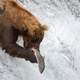 Bear catching Salmon in Waterfall at Katmai National Park
