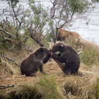 Bear cubs playing around at Katmai National Park