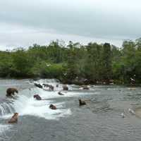 Bears all the Katmai Falls