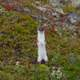 Ermine standing up Alert in Katmai National Park
