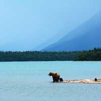 Grizzly Mother with Cubs at Naknek Lake