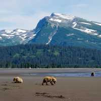 Bears in the Shadow of the mountains at Lake Clark National Park