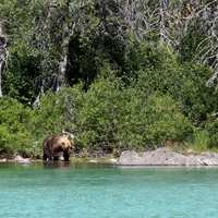 Brown Bear on the edge of Crescent Lake