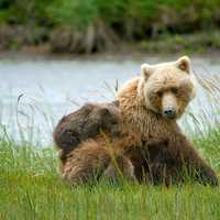 Brown bears in Lake Clark National Park, Alaska