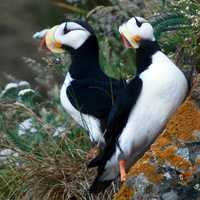 Horned Puffins at Lake Clark National Park