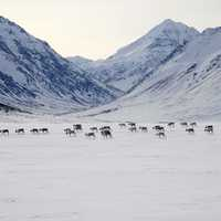 Herd of Caribou in the snowy landscape