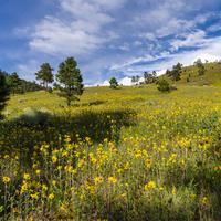 Summer Wildflowers east of the Peaks in Coconino National Forest