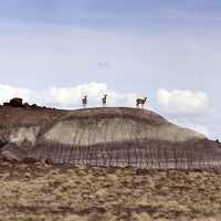 Pronghorn Antelope standing on Rock