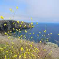 Seashore with Yellow Flowers at Channel Islands National Park, California