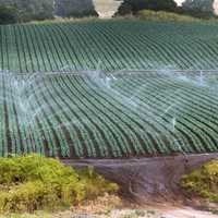 Sprinkler watering Farm in California