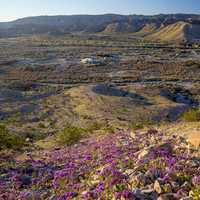 Purple Flowers on the Afton Canyon Landscape in the Mojave Desert
