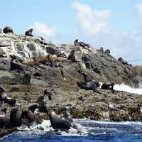 Seals on the rocks of Bruny Island California