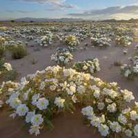 White Flowers in the desert in the Cadiz wilderness