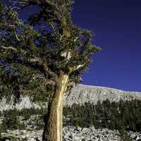 Foxtail Pine at Sequoia National Park, California