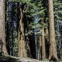 Sequoia Tree Forest at Sequoia National Park, California