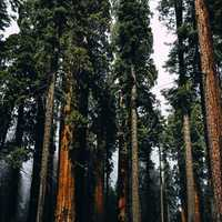 Tall Pine Forest at Sequoia National Park, California
