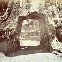 Tunnel through giant tree, Yosemite National Park 1870, California