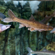 CutThroat trout swimming