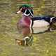 Wood duck swimming