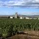 Corn growing in Larimer County in Colorado landscape