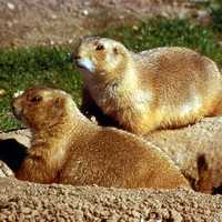 Prairie Dogs are protected in Boulder, Colorado