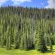 Closeup of the pine forest at Rocky Mountains National Park, Colorado