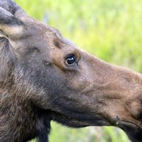 Close-up of a moose at Rocky Mountains National Park, Colorado
