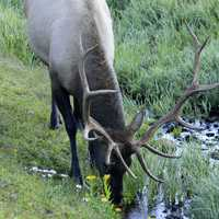 Deer drinking water at Rocky Mountains National Park, Colorado