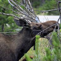 Moose Eating leaves at Rocky Mountains National Park, Colorado