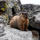 Yellow Bellied Marmot standing on the rocks