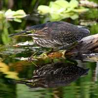 Green Heron in the Marshes, Big Cypress National Preserve