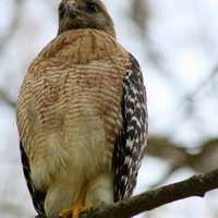 Red Shouldered Hawk sitting in a tree