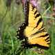 Tiger Swallowtail Butterfly flying
