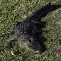 Alligator sitting lazily in the swamp