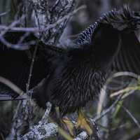 Anhinga spreading its wings on the tree