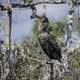 Anhinga Standing on Tree