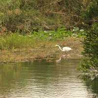Egret Wading at Everglades National Park, Florida