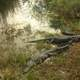 Alligators floating at Everglades National Park, Florida