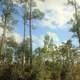 Pine Forest at Everglades National Park, Florida