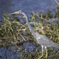 Grey Heron at the Water's Edge