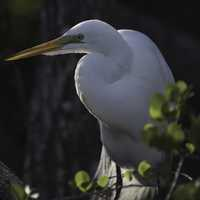 Snowy Egret standing in the swamp