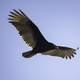 Vulture in flight in full Wingspan