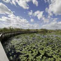 Water lillies and boardwalk with clouds and sky