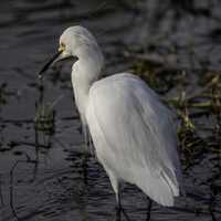 White Egret standing in water