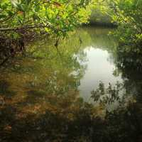 Mangrove Creek at Key Largo, Florida