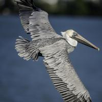 Pelican in Flight over the water