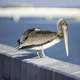 Pelican standing on the rail