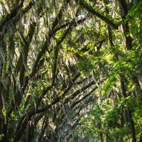 Trees arching over the road in Tallahassee, Florida